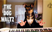 Bella the piano playing dog