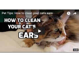 Cat Ear Cleaning