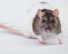 Orangeville-Rat.jpg
