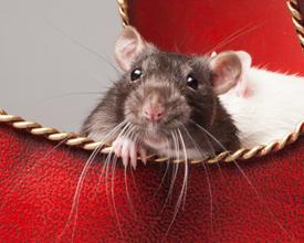 Newshound Rat