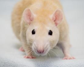prov-rats-small.jpg